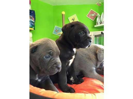 Satılık Cane Corso Yavruları Yağız Pet Club'ta