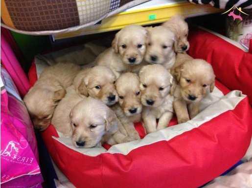 Baby Face Golden Retriever Yavruları Yağız Pet Club\'ta