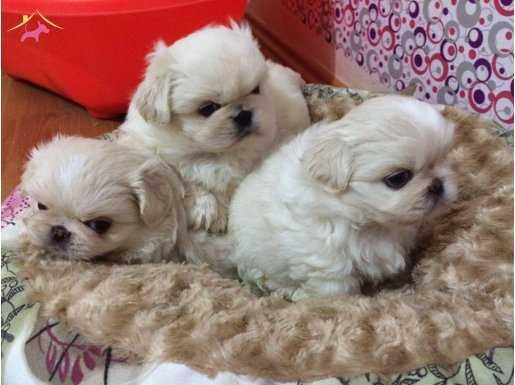 Kar Beyaz Pekinez Yavruları ((( Yağız Pet Club'ta )))