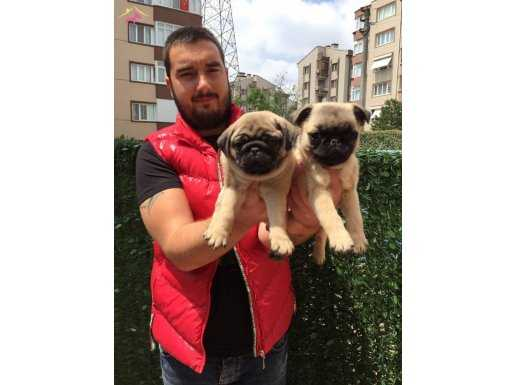 Show Kalite Pug Mops Yavruları Yağız Pet Club'ta