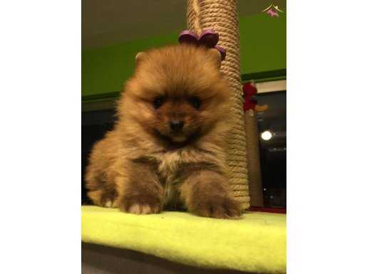 Show Kalite Tea Cup Pomeranian Boo Yavruları