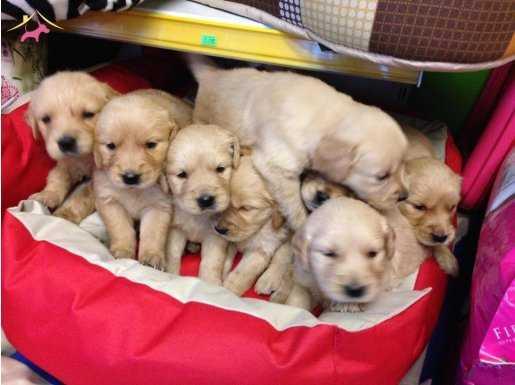Satılık Golden Retriever Yavruları Yağız Pet Club'ta