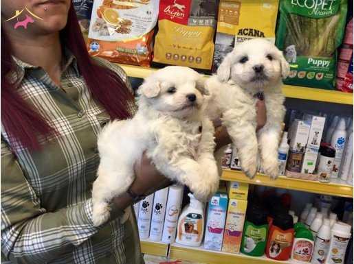Kar Beyaz Irk Garantili Maltese Terrier Yavruları