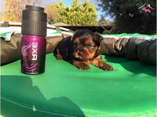 Mini Tea Cup Yorkshire Terrier Yavrularımız