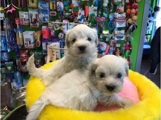 Kar Beyaz Irk Garantili Tea Cup  Maltese Terrier Yavruları