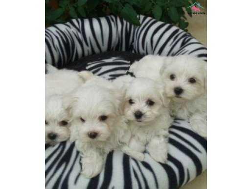 Tea Cup Kar Beyaz Maltese Terrier Yavruları
