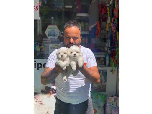 Maltes terrier safkan Orjinal yavrular