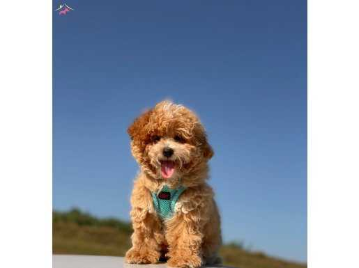 PUFFY MİNİ TOY POODLE