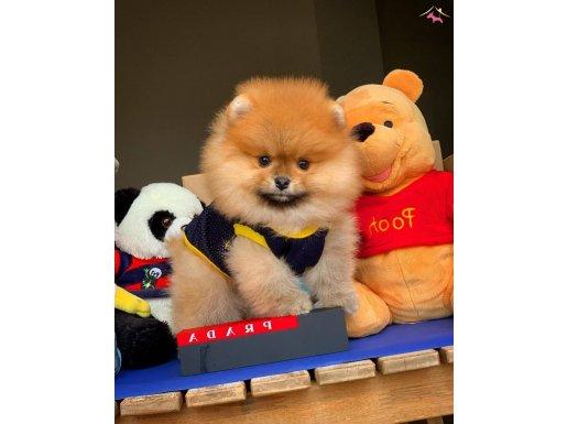 Ayı Surat Pomeranian Boo Yavrumuz Maksim