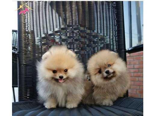 Sağlık ve Irk Garantili Pomeranian Yavruları