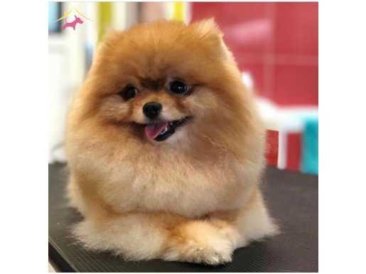 Sağlık ve Irk Garantili Pomeranian Yavrumuz