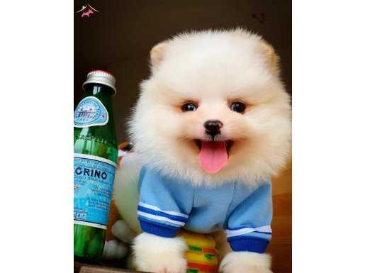 Sağlık ve ırk garantili Pomeranian Boo