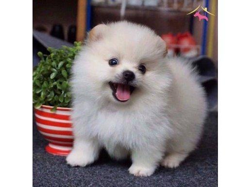 En uygun gülen surat Pomeranian Boo yavruları