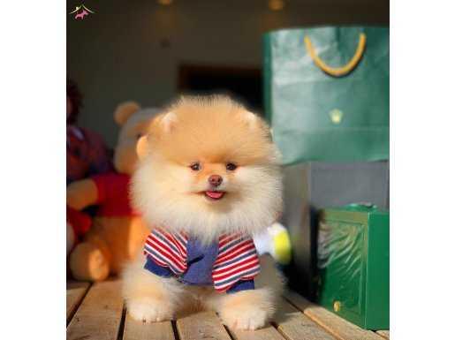 Irk ve sağlık garantili teddybear Pomeranian