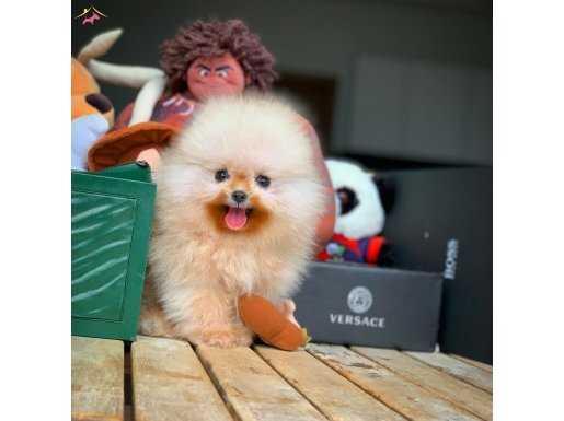 Safkan Pomeranian Boo teddybear