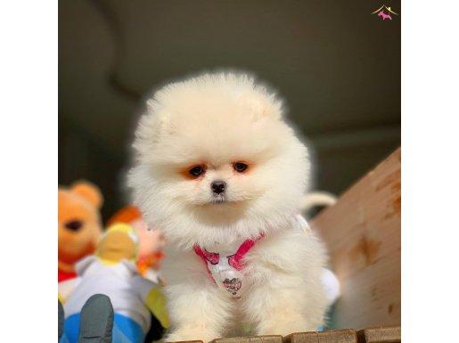 Gülen Surat Büyümeyen Pomeranian Boo Yavrularımız