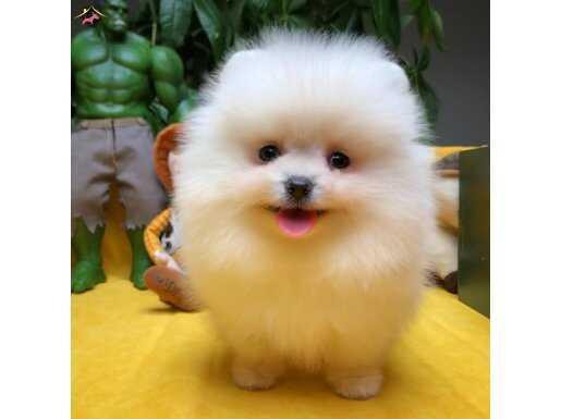 Pomeranian Boo safkan yavru ve yetişkinler