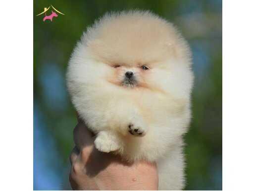 Irk ve sağlık kontrollü yavrular Pomeranian
