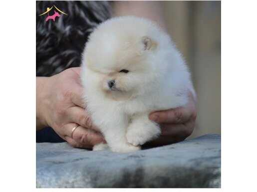 Mini boy Pomeranian teddyface Boo