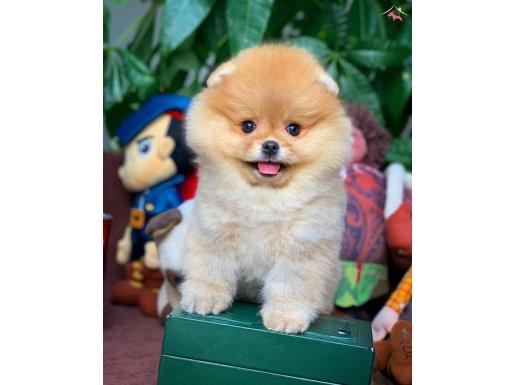 Pomeranian Boo Teddyface