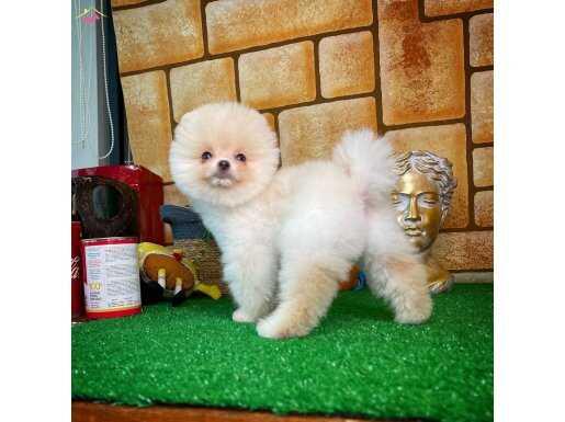 Mini boy Pomeranian Teddy