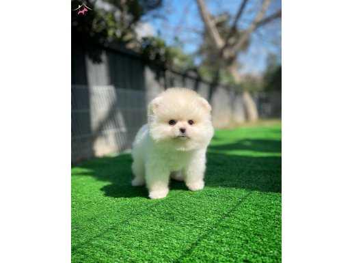 Pomeranian teddy surat yapısı