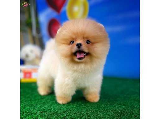 Pomeranian boo face