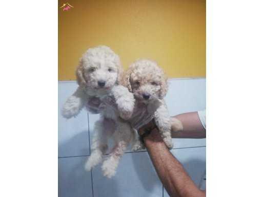 poodle_toy_yavruları