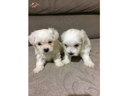 Anne altında maltese terrier yavruları