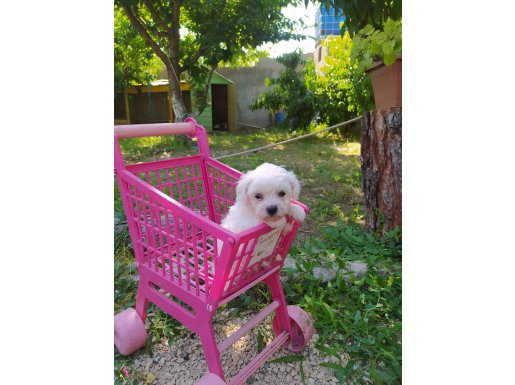Maltes Terrier Yavrularımız