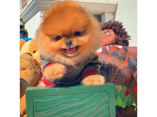 Elit Yavru Pomeranian Boo Ayıcık Yüz