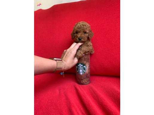 Red brown Toy Poodle Irk ve sağlık garantili