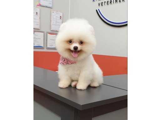 Boo Traşlı Yavru Pomeranian