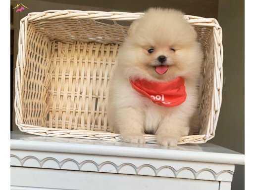 Orjinal Boo Pomeranian Yavrular