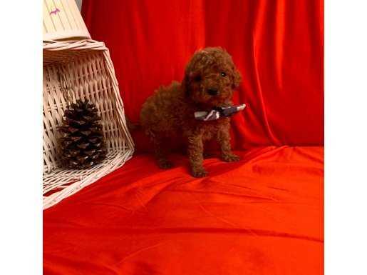 Çok Özel Red Brown Toy Poodle Yavrular
