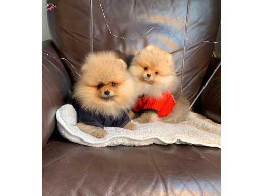 Dişi erkek Pomeranian Yavrular