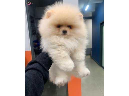 Orjinal Irk Tedy Bear Boo Pomeranian Yavrular