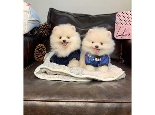 Beyaz Boo Pomeranian Yavrular