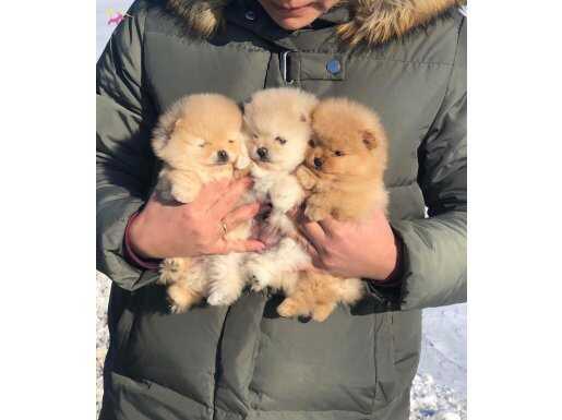 Ayıcık Surat Boo Pomeranian Yavrular