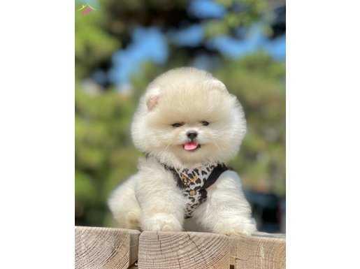 Teddy Surat Sevimli Pomeranian Boo