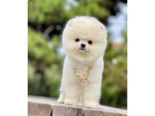 Boo Traşlı Ayıcık Sevimli Pomeranian Yavrular