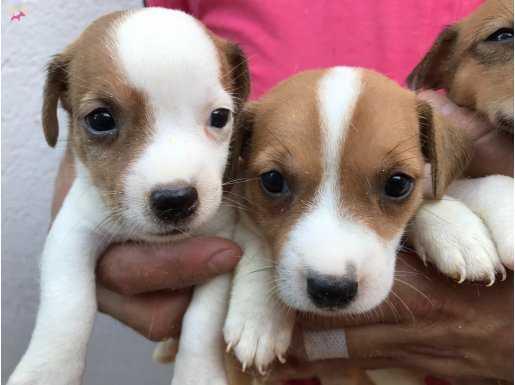 Kısa orginal Jackrusell terrier Yavrularımız