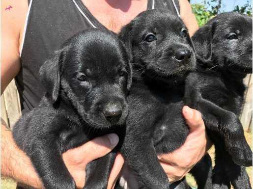 Siyah Sarı ve Çikolata Labrador Yavrularımız