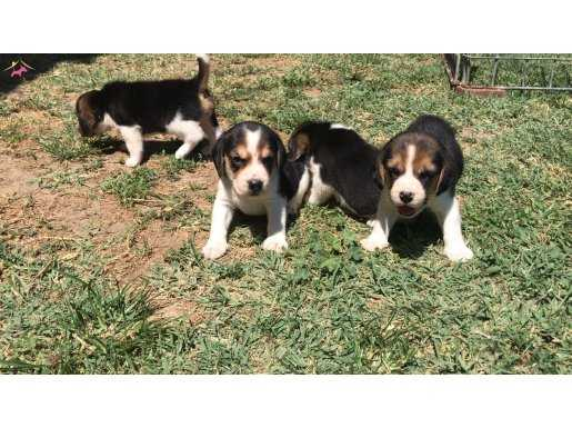 Beagle Yavrularımız
