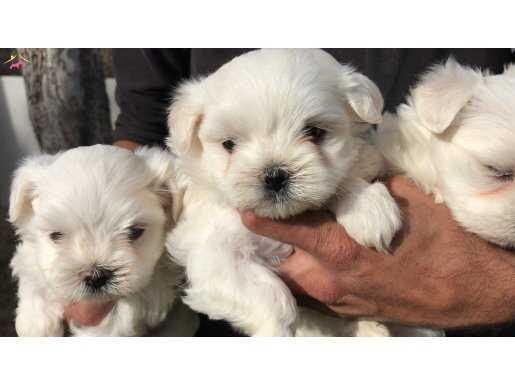 Maltiz Terrier yavrularımız
