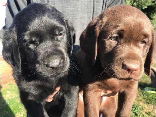 Cikolata siyah krem şampanyayı Labrador yavrularımız