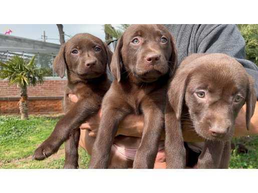 Siyah kahverengi yada krem şampanya Labrador yavrularımız