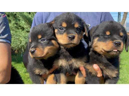 Koca kafa rottweiler yavrularımız