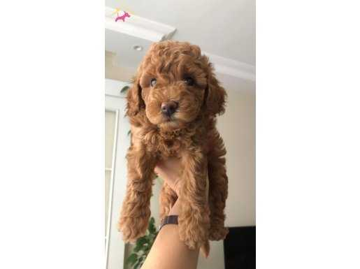 Toy Poodle Red Brown