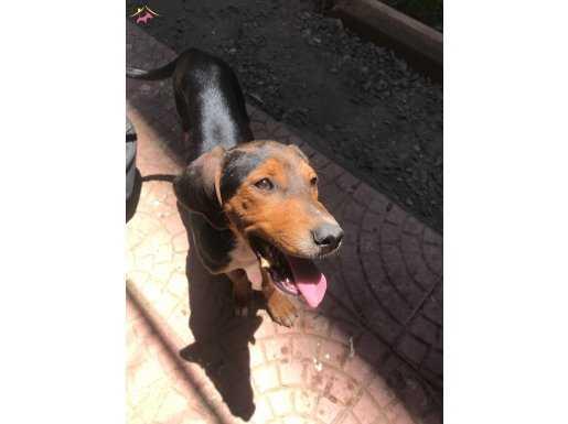 Safkan Brezilyalı av köpeği
